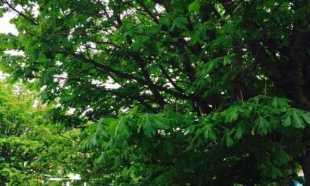 Rechter dwingt toezegging af: bomen Toussaintkade voorlopig veilig
